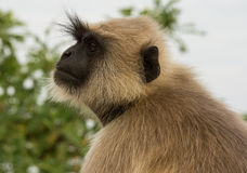 Grey langur monkey Stock Photo