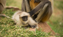 Grey langur monkey cub Royalty Free Stock Photography