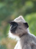 Grey Langur Monkey Face i Sri Lanka Arkivfoton