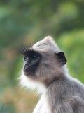 Grey Langur Monkey Face i Sri Lanka Arkivfoton