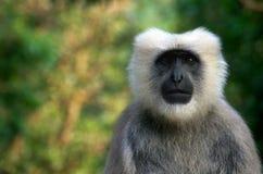 Grey langur monkey portrait stock photos