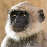 Grey langur portrait Stock Images