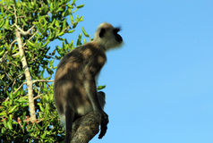 Grey Langur Royalty Free Stock Image