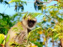Grey Langur in seinem Baum Lizenzfreie Stockfotografie