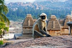 Monkey sitting on a rock in Hampi. India Stock Photos