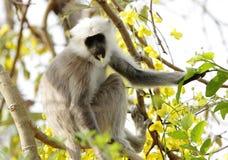 Grey langur sitting on a tree Royalty Free Stock Image