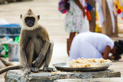 A grey langur steals some rice placed outside a temple while a w. Oman bows down to pray at a temple in Anuradhapura, Sri lanka Royalty Free Stock Images