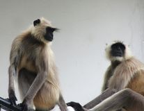 Grey langur Royalty Free Stock Photography