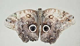 Moth close up Grey large with rings on wings Stock Images