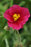 Grey-leaved Cistus Royalty Free Stock Photo