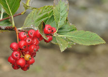 Grey-leaved Whitebeam Berries. Sorbus porrigentiformis Endemic to S.W.England & S. Wales royalty free stock photo
