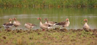 Grey leg goose. Bird family standing in relax mood  on bank of pond. background of green grass and water of pond providing natural beauty to the scene. duck Royalty Free Stock Photo