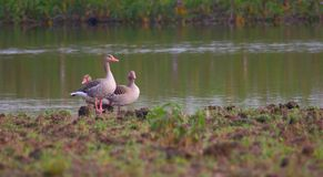Grey leg goose. Bird standing on bank of pond. background of green grass and water of pond providing natural beauty to the scene. duck color are very beautiful Royalty Free Stock Photo