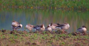 Grey leg goose. Bird family take rest  on bank of pond. background of green grass and water of pond providing natural beauty to the scene. duck color are very Royalty Free Stock Photo