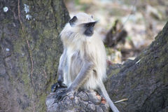 Grey Lengur. Grey, Common or Hanuman Lengur, Bandhavgarh National Park, India Royalty Free Stock Photography