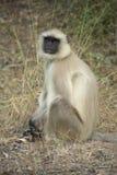 Grey Lengur. Grey, Common or Hanuman Lengur, Bandhavgarh National Park, India Stock Images
