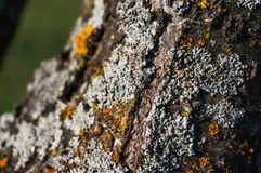 Grey lichen Royalty Free Stock Photos