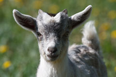 Grey little goat kid Stock Images