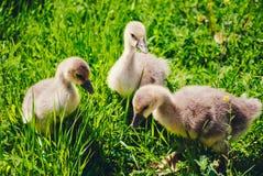 Grey little goslings Stock Image