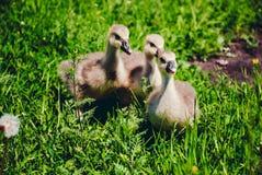 Grey little goslings eating green grass Stock Image