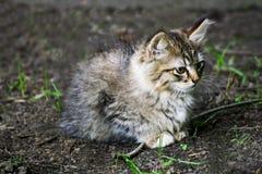 Grey little kitten. Royalty Free Stock Image
