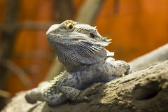 Grey Lizard Royalty Free Stock Photos