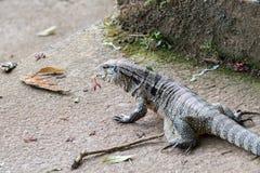 Grey lizard Stock Photos