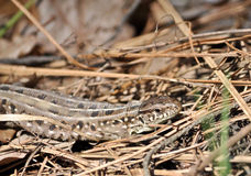 Grey lizard in the dry grass. Royalty Free Stock Photography