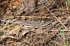 Grey lizard in the dry grass. Stock Photography