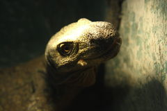 Grey lizard in the Moscow zoo. Grey lizard. Exhibition of reptiles, Moscow zoo Stock Image