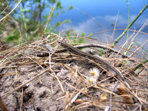 The grey lizard near the river Stock Image