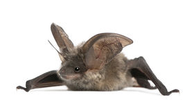 Grey long-eared bat, against white background Royalty Free Stock Images