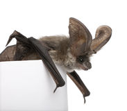 Grey long-eared bat in front of white background Royalty Free Stock Photography