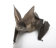 Grey long-eared bat in front of white background Stock Photos