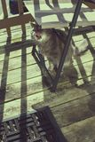 Grey long haired cat licking lips under chair on porch on sunny. Day Royalty Free Stock Image