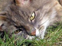 Grey Long Haired Tabby Cat Close Up. Grey, long haired tabby cat, lying in grass, close up Stock Photography
