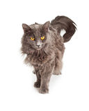 Grey Longhair Cat With Yellow Eyes Looking Down Royalty Free Stock Image