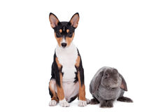 Grey lop-eared rabbit with basenji puppy Royalty Free Stock Photography