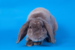 Grey lop-eared rabbit rex breed on blue Stock Photo