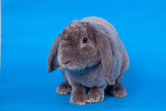 Grey lop-eared rabbit rex breed on blue Stock Photography