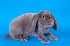 Grey lop-eared rabbit rex breed on blue Stock Photos