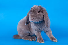 Grey lop-eared rabbit rex breed on blue Stock Images