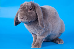 Grey lop-eared rabbit rex breed on blue Royalty Free Stock Image