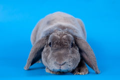 Grey lop-eared rabbit rex breed on blue Royalty Free Stock Images