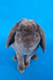 Grey lop-eared rabbit rex breed on blue Royalty Free Stock Photography