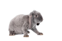 Grey lop-eared rabbit rex breed Royalty Free Stock Images