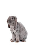 Grey lop-eared rabbit rex breed Royalty Free Stock Photos