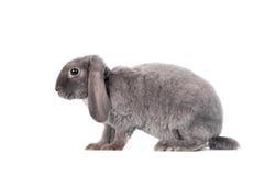 Grey lop-eared rabbit rex breed Stock Photo