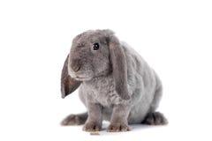Grey lop-eared rabbit rex breed Stock Image