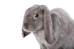 Grey lop-eared rabbit rex breed Stock Images